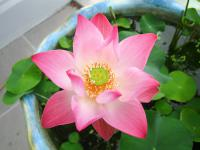 Thailand | , a Lotus flower