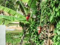 Thailand | , blooming banana trees